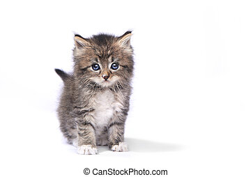 Tiny 4 Week Old Kitten on White Background - Adorable Tiny 4...