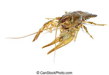 Crayfish close up isolated on white background