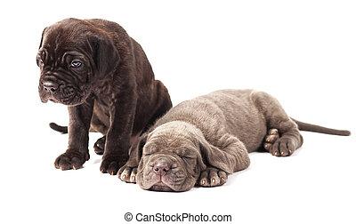 Two beautiful young puppies italian mastiff cane corso (1...