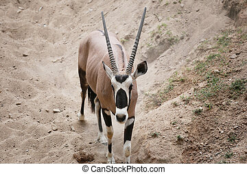 Oryxes is a genus of mammals and ruminants. - Oryxes is a...