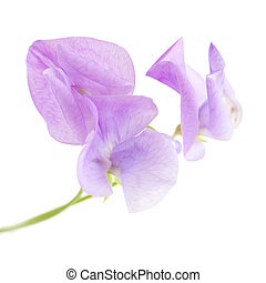 pale lilac sweet pea flower isolated on white