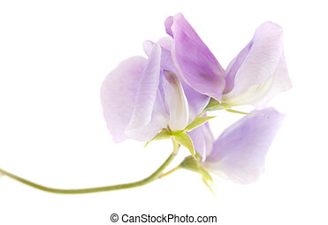 pale lilac sweet pea flowers isolated on white background