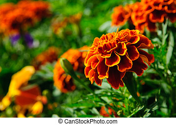 marigold  - Red marigold flower. vibrant colors