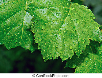 leaves with water drops