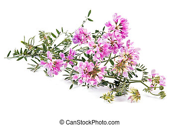 Plant Vicia or Mouse pea - Flowering field plant Vicia it is...