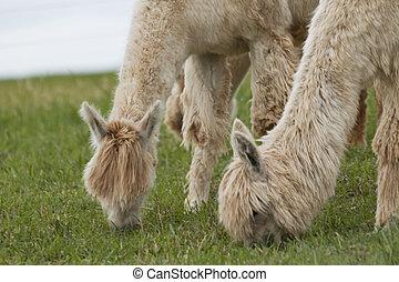 Creamy White Pair of Alpacas
