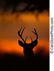 Silhouetted Whitetail Buck Portrait - a close up portrait of...
