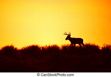 Whitetail Buck on Hill in Sunset - a whitetail buck...