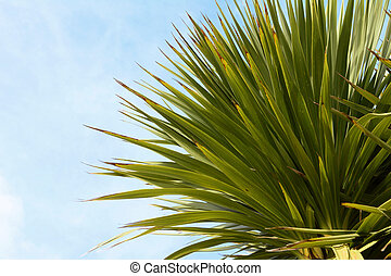 Green yucca tree top with spiky, long green leaves against a...