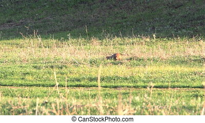Gopher in the wild. Gopher crawls across the meadow and eats...
