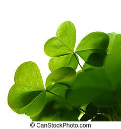 Clover plant macro shot, isolated on white background,...