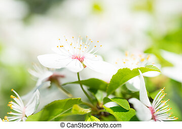 White flowers on a blossom cherry tree with soft background...