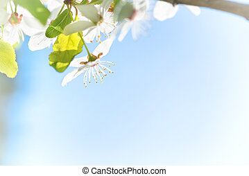 Branch with white flowers on a blossom cherry tree, soft...