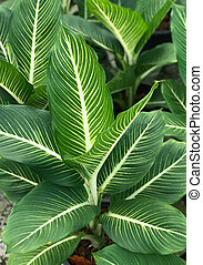 Pattern of green and white leaf background (Dumb Cane) -...