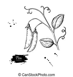 Pea pod hand drawn vector illustration. Isolated Vegetable...