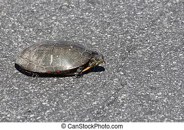 Midland Painted Turtle (Chrysemys picta) on Road