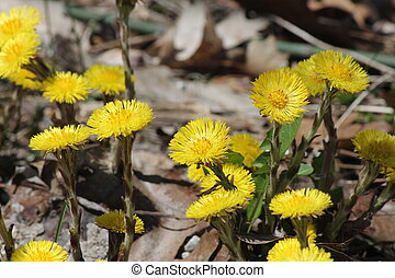 Coltsfoot (Tussilago farfara) wild flowers growing in the...
