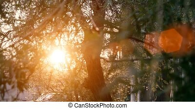 Willow tree in sunset light with lens flares