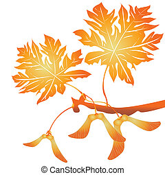 Maple tree seeds and leafs over white background