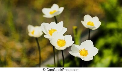 a beautiful white flower Anemone in the wind