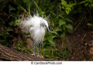 Little egret showing breeding season plumage - The Little...