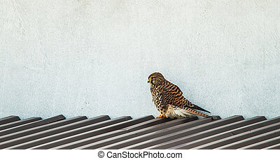falcon on roof