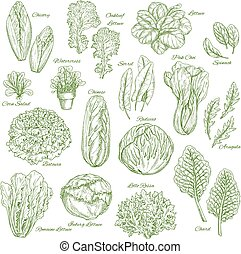Salad leaf and vegetable greens sketch set design - Salad...