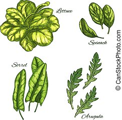 Green vegetable and salad leaf sketch set. Lettuce, spinach,...