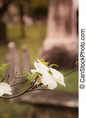 Old Tombstones Beyond Dogwood Tree - Old tombstones are...
