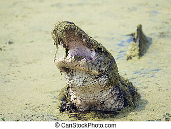 Alligator with its mouth open