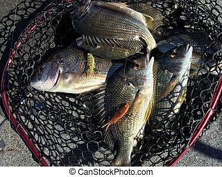Fresh tilapia fish in net after fishing