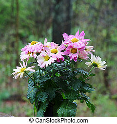 Pink Chrysanthemums - A bunch of wet pink Chrysanthemums,...
