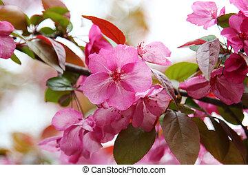 Pink Crab apple flowers - Pink Crab apple flower in Spring...