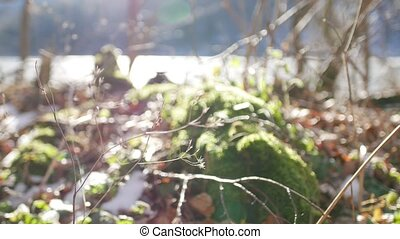 Moss on stump in the forest under the snow. - Moss on a...
