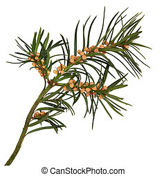 Yew Leaf Sprig - Yew leaf sprig with seeds, isolated over...