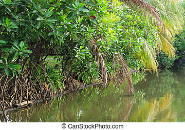 Mangrove forest topical rainforest in Thailand
