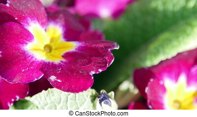 Beautiful primroses flowers close-up.
