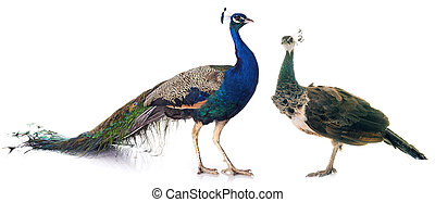 peacock in studio - female and male peacock in front of...