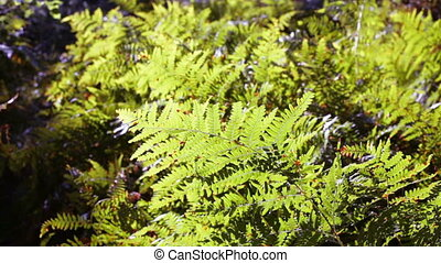wind rustling the fern - The wind rustling the fern in the...