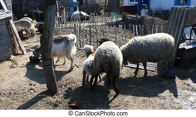 sheep and goats eat in the courtyard from the bucket