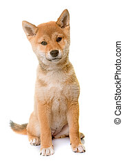 puppy shiba inu in front of white background