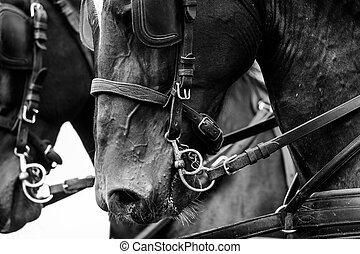 horses in carriage close up in monochrome tones