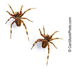 Orb Weaver Spiders (Neoscona crucifera) on white background.