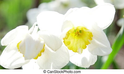 Close-up of blooming Narcissus poeticus in the garden 4K...