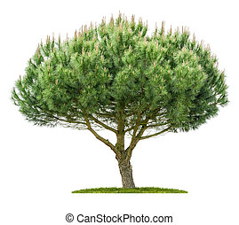 背景, 白色, 樹, 被隔离, 松樹