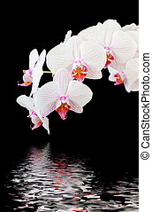White orchid on black background - Branch of striped white...