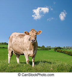 Cow - A Cow Grazing in Field