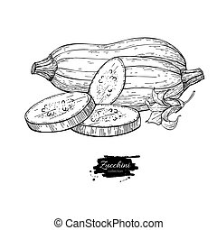 Zucchini hand drawn vector illustration. Isolated Vegetable...