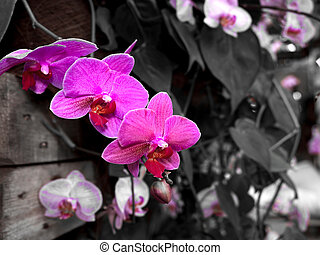 Beautiful Farland orchid in tropical garden., Streaked...