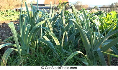 Leeks cultivated in organic farm - Leeks cultivated in small...